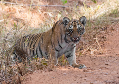 Tiger Cub clicked during the Tadoba tour