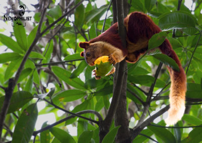 Giant Indian Squirrel - Clicked at Dandeli