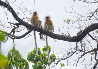 Golden Langur in Manas