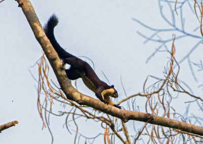 Malayan Giant Squirrel - Clicked in Manas