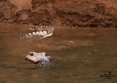Crocodile in the Panna River