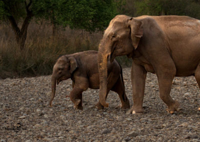 Elephant Mother and Calf shot in Rajaji