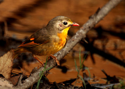 Red Billed Leothrix