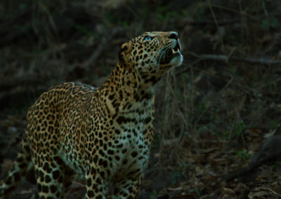 The Elusive Leopard of  Satpuda
