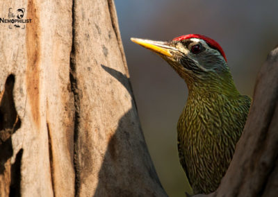 Scaly Bellied Woodpecker- Pilibhit