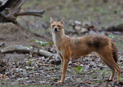 Jackal shot in Pench