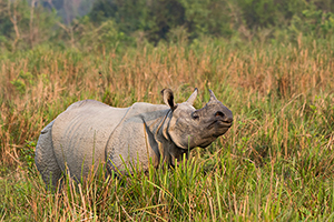 Indian Rhino - Kaziranga