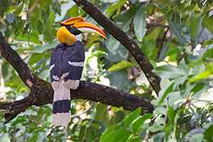 Great Hornbill - Manas