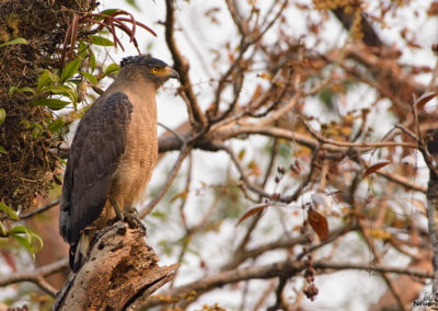 Crested Serpent Eagle - Corbett