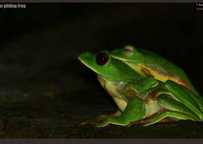 Malabar Gliding frogs - Photographed by Mr. Bose