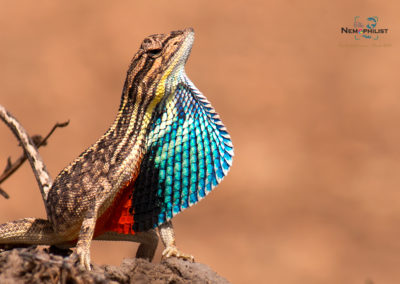 Fan Throated Lizard - Weekend Tour