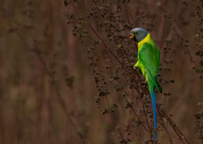 Plum Headed Parakeet - Satpuda