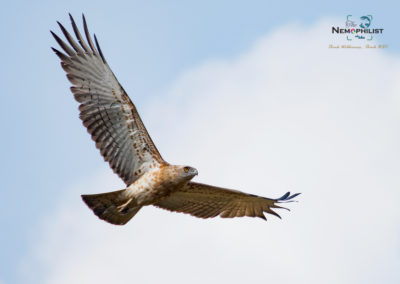 Short Toed Snake Eagle - Weekend tours