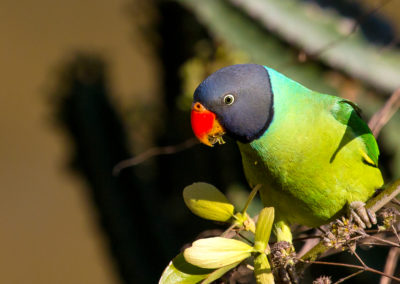 Slaty Headed Parakeet12
